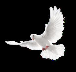 白鸽和平鸽png素材